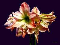 A Lovely Pink and White Amaryllis