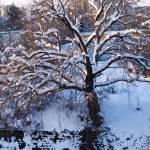 """Riverbank Tree"" by raetucker"