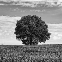 Tree in the field BW