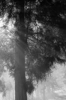 Misty forest BW