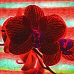 """""""Blood Red Orchid"""" by Kirtdtisdale"""