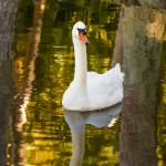 """White Swan in Golden Light"" by mjphoto-graphics"