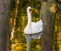 White Swan in Golden Light