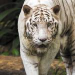 """Indian White Tiger"" by mjphoto-graphics"