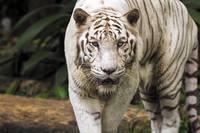 Indian White Tiger