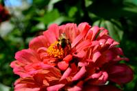 Bee and coral zinnia