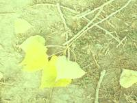 Yellow leaves will not be forgotten