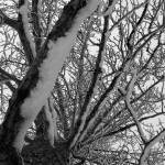 """861026 Cottonwood in Winter B&W"" by BarbaraLin"