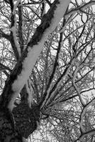 861026 Cottonwood in Winter B&W