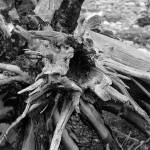 """Driftwood Stump in B&W"" by BarbaraLin"