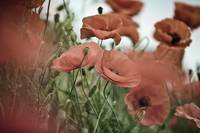 Poppy Dream