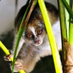 """Hallo, I Am A Slow Loris"" by JoaoPonces"