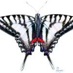 """Zebra Swallowtail at rest"" by LisaMclaughlin"