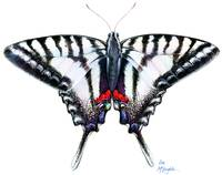 Zebra Swallowtail at rest