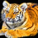 """Tiger Cub"" by ImageMonkey"