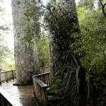 """Last of the Giant Kauri Pines"" by DavidBleakley"