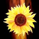 """""""Sunflower"""" by valzart"""