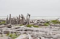 Olympic National Park Driftwood