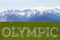 Olympic Marmot Overlooking the Olympic Range