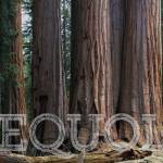 """A cluster of Sequoias in Sequoia National Park"" by rYgardner"