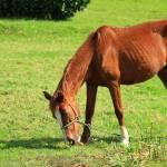 """Brown Horse"" by rhamm"