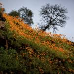 """Poppies along the Mokelumne River"" by SederquistPhotography"