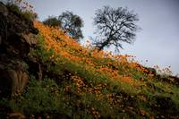 Poppies along the Mokelumne River