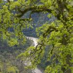 """Spring Oak Tree and American River"" by SederquistPhotography"