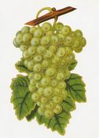 The 'Common Muscadine' grape, a hand-coloured engr