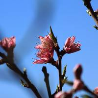 Square Peach Blossoms IMG_6613