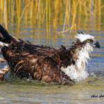 """Osprey Bathing"" by shelshots"