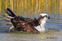 Osprey Bathing