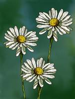 Three Daisies on Green