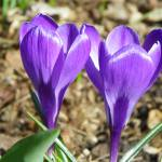 """Spring Crocus"" by vpicks"