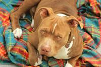 Pitbull on a Blanket