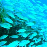 """Reef Fish on the Simpson Bay Bridge St. Maarten"" by RoupenBaker"