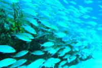 Reef Fish on the Simpson Bay Bridge St. Maarten