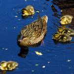 """Mallard Duck with Ducklings"" by joeyartist"