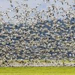 """Goose Storm"" by Dawsonimages"