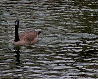 Canada Goose Wondering About You Number 4 8x10