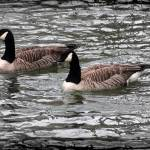 """Canada Geese With Dark Edge"" by KsWorldArt"