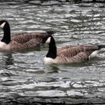 """Canada Geese With Dark Edge"" by KsWorldArt"