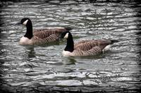 Canada Geese With Dark Edge