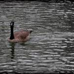 """Canada Goose Wondering About You Vignette"" by KsWorldArt"