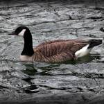"""Canada Goose With Vignette"" by KsWorldArt"