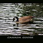 """Canada Goose Poster"" by KsWorldArt"