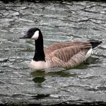 """Canada Goose with Dark Edge"" by KsWorldArt"