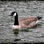 """Canada Goose with Dark Edge"" by KsWorldArt"