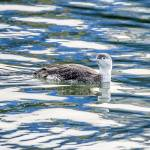 """Red-throated Loon"" by WildAboutNaturePhotography"