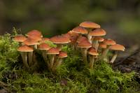 A clump of Hypholoma fungus in rainforest moss